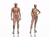 Anatomia, muscoli transparant con lo scheletro. Immagini Stock Libere da Diritti