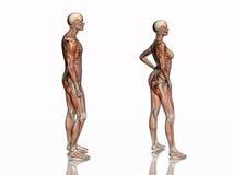 Anatomia, muscoli transparant con lo scheletro. Fotografia Stock