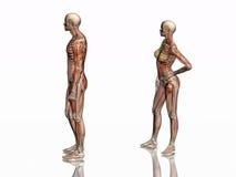 Anatomia, muscoli transparant con lo scheletro. illustrazione vettoriale