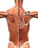 Anatomia muscular da parte traseira Foto de Stock