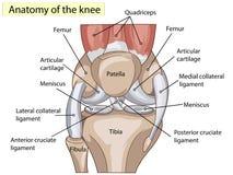 anatomia Struktury kolanowego złącza wektor zdjęcia royalty free