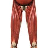 Anatomia superiore dei muscoli delle gambe illustrazione vettoriale