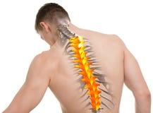 Anatomia toracica della spina dorsale isolata su bianco Fotografie Stock Libere da Diritti