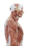 Anatomia umana Fotografia Stock