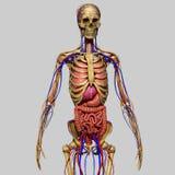 Anatomia umana Immagini Stock Libere da Diritti