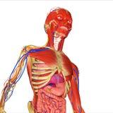 Anatomia umana Fotografia Stock Libera da Diritti
