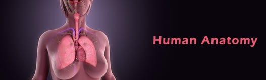 Anatomia umana royalty illustrazione gratis