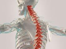 Anatomia umana in 3D immagine stock