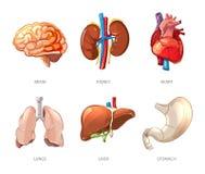 Anatomia umana degli organi interni nello stile di vettore del fumetto Fotografia Stock Libera da Diritti