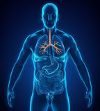 Anatomia umana del bronco illustrazione di stock