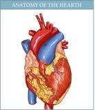 Anatomia umana del focolare Fotografia Stock