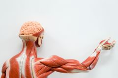 Anatomia umana del muscolo Immagini Stock Libere da Diritti