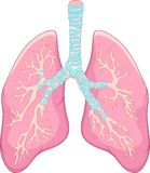 Anatomia umana del polmone Fotografia Stock