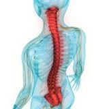 Anatomia umana della colonna vertebrale del sistema di scheletro illustrazione di stock