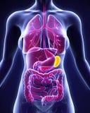 Anatomia umana della milza Immagini Stock