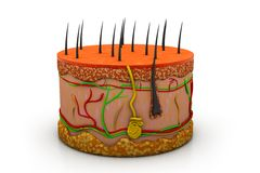 anatomia umana della pelle 3d Fotografia Stock