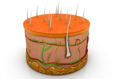 anatomia umana della pelle 3d Fotografie Stock