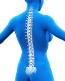 Anatomia umana della spina dorsale Fotografie Stock Libere da Diritti