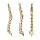 Anatomia umana della spina dorsale Fotografia Stock