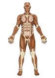 Anatomia umana dentro   Immagine Stock Libera da Diritti