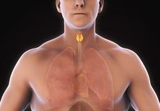 Anatomia umana ghiandola tiroide Fotografia Stock Libera da Diritti