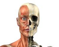 Anatomia umana - muscoli e cranio - con il percorso di residuo della potatura meccanica Immagine Stock