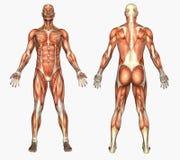 Anatomia umana - muscoli maschii Immagini Stock Libere da Diritti
