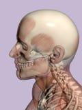 Anatomia una testa, trasparente con lo scheletro. illustrazione vettoriale