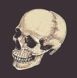 Anatomic Grunge Skull Royalty Free Stock Photo