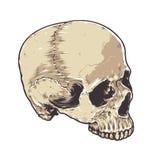 Anatomic Grunge Skull Royalty Free Stock Photography