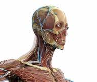 Anatomic huvud stock illustrationer