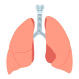 Anatomic lungs illustration. On white background stock illustration