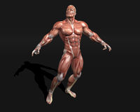 Anatomic model. 3d HQ image: anatomic model Royalty Free Stock Images