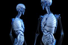 Anatomical, Anatomy, Body, Gut Royalty Free Stock Photos