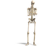 Anatomical correct male skeleton Stock Photography