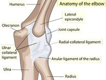 Anatomical design. posterior and radial collateral ligament of the elbow joint. Showing the main parts that made the elbow joint for basic medical education Stock Images