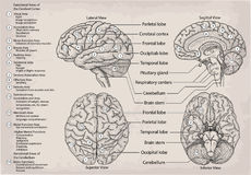 Anatomical diagram of human Brain. Medicine, Vector illustration Royalty Free Stock Image