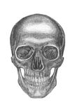 Anatomical drawing. Anatomiclly correct drawing of a skull, good for design element Stock Photography