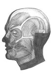 Anatomical drawing. Anatomiclly correct drawing of face muscles, good for design element Royalty Free Stock Photos