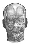 Anatomical drawing. Anatomiclly correct drawing of face muscles, good for design element Royalty Free Stock Images