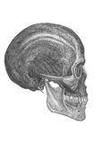Anatomical drawing. Anatomiclly correct drawing of a skull , good for design element Royalty Free Stock Photos