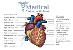 Anatomical Human heart hand drawn poster with inscription  of ve Stock Image