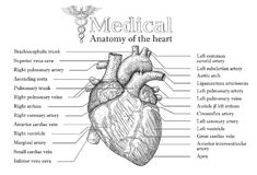 Anatomical Human heart hand drawn poster with inscription  of ve Royalty Free Stock Images