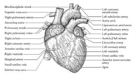 Anatomical Human heart hand drawn sketch with inscription of nam Stock Images