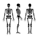 Anatomical human skeleton, in three positions. Royalty Free Stock Image