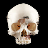 Anatomical human skull Stock Images