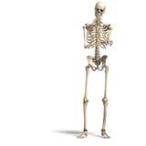anatomical korrekt male skelett Arkivbild