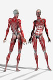 anatomical kvinna Arkivbilder