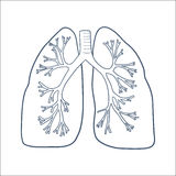Anatomical lungs isolated on white. Royalty Free Stock Photos