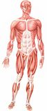 Anatomical man Stock Image